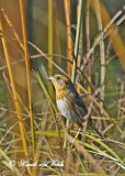 20111011 - 1 089 Nelson's Sharp-tailed Sparrow.jpg