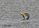 20111012 005 SERIES - Double-crested Cormorant.jpg