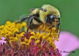 20110808 341 Bumble Bee.jpg