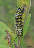 20110913 239 238 Monarch Caterpillar.jpg