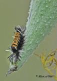 20110913 285, 280 SERIES - Milkweed Tussock Caterpillar.jpg