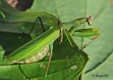 20111005 215 SERIES - Praying Mantis.jpg