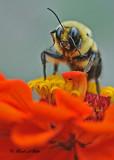 20110808 373 Bumblebee.jpg