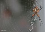 20110905 015 SERIES - Orb Weaving Spider (Black and Yellow Argiope) HP.jpg