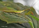 20110911 240 1r1 SERIES - Praying Mantis.jpg
