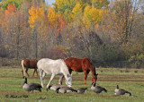 20111022 466 Horses and Canada Geese.jpg