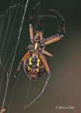 20110905 214 Orb Weaver Spider -  Black and Yellow Argiope.jpg