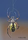 20110917 - 1 081 SERIES - Orb Weaver Spider -  (Black and Yellow Argiope).jpg