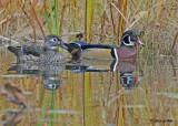 20111026 203 Wood Ducks.jpg