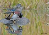 20111026 277 Wood Ducks.jpg