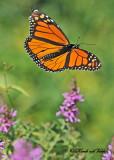 20110808 157 Monarch Butterfly.jpg
