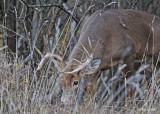 20111118 004 SERIES - White-tailed Buck.jpg