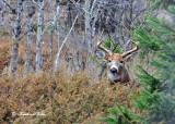 20111117 070 1r1 White-tailed Buck.jpg