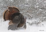 20111123 443 Wild Turkey.jpg