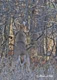 20111118 064 SERIES - White-tailed Buck.jpg