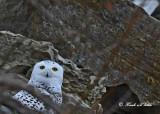 20111126 - 2 007 Snowy Owl.jpg