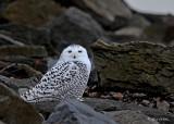20111126 - 2 147 2 1r1  Snowy Owl.jpg