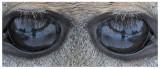 20111123 379 380 1r1 SP in W-t Deer eye.jpg