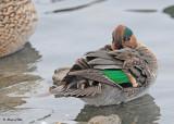 20111122 - 2 111 Green-winged Teal.jpg