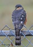 20111128 - 2 049 Sharp-shinned Hawk.jpg