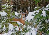 20111124 061 SERIES - White-tailed Deer.jpg