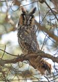 20111028 - 1 031 Long-eared Owl.jpg