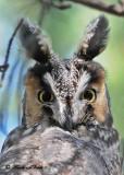 20111028 - 1 046 Long-eared Owl.jpg
