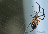 20110917 - 1 167 Orb Weaving Spider Black and Yellow Argiope.jpg