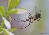20110917 - 1 115 SERIES - Orb Weaving Spider (Black and Yellow Argiope).jpg