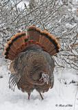 20111123 439 Wild Turkey.jpg