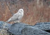 20111206 150 Snowy Owl.jpg