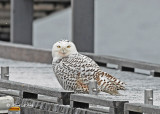 20111206 016 Snowy Owl.jpg