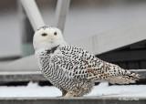 20111209 061 Snowy Owl.jpg