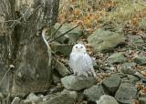 20111206 090 Snowy Owl.jpg