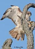 20111028 - 1 511 1c1 Red-tailed Hawk.jpg