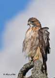 20111028 - 1 452 Red-tailed Hawk.jpg