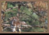 20111212 398 Red-tailed Hawk.jpg