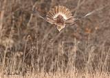 20111212 506 Red-tailed Hawk.jpg