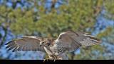 20111212 459 SERIES -  Red-tailed Hawk.jpg