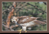 20111212 390 1r3 SERIES - Red-tailed Hawk.jpg