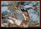 20111212 - 2 031 2r1 SERIES - Red-tailed Hawk.jpg