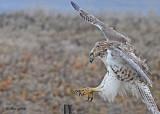 20111222 458 Red-tailed Hawk.jpg