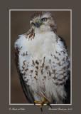 20111222 707 Red-tailed Hawk.jpg
