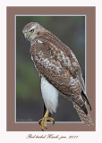 20111222 1686 Red-tailed Hawk.jpg