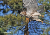 20111212 451 Red-tailed Hawk.jpg