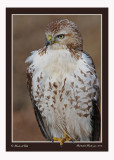 20111222 769 1r2a2 SERIES -  Red-tailed Hawk.jpg