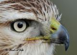 20111222 1604 1c3 SERIES - Red-tailed Hawk.jpg