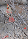 20111222 233 Northern Cardinal.jpg