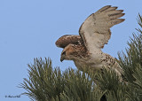20111222 423 SERIES - Red-tailed Hawk 3r1.jpg