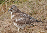 20111222 1448 1r3 Red-tailed Hawk.jpg